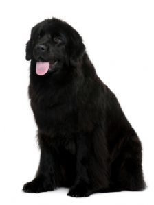 Best Dog Shampoo for Newfoundland MD10 Black Texture Shampoo